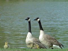 Goose Family (Maia C) Tags: sonydschx1 maiac bird kensingtonmetropark goose canadagoose gosling comment lj