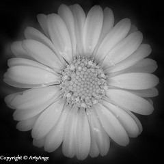 Daisy Daisy (ArtyAnge) Tags: blackandwhite daisies stamens daisy infrared anthers pollengrains bellisperennis infraredfilter meadowflowers daisyflower blackandwhiteflowers daisyflowers artyangephotography daisypollen asteracacae infraredsetting