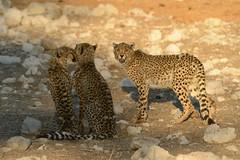 Cheetah - Namibia (Ami 211) Tags: africa bigcat cheetah namibia bigcats acinonyxjubatus felidae africanwildlife acinonyx felinae