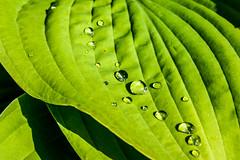 Waterdrops (Joakim Berndes) Tags: macro green nature water closeup juni leaf drops waterdrop cc creativecommons 2009 vatten midsommar sommar julita grn nrbild lv bjrkvik droppe vattendroppe