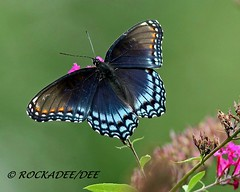Red-spotted Purple (ROCKADEE_Two With Eagles 1951 / Rockey & Dee) Tags: butterfly insect newjersey purple bokeh wildlife dee redspotted naturerules rockadee naturebytheyard