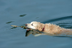 Golden Labrador  Retriever  Dog-Canis lupus familiaris, Collects A Thrown Stick In A River. Uk (PANDOOZY PHOTOS) Tags: uk sea dog water river golden gun labrador retriever stick lupus canis familiaris
