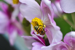 He makes more (johnlino) Tags: travel pink flower beautiful germany bavaria 50mm bee honey d300s
