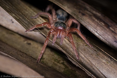 Tarantula (Andrew Snyder Photography) Tags: rainforest guyana research jungle tarantula biodiversity iwokrama conservationphotography andrewmsnyder neostenotarsusscissistylus andrewmsnyderphotography