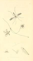 n203_w1150 (BioDivLibrary) Tags: greatbritain insects botany arthropoda smithsonianlibraries pictorialworks taxonomy:binomial=potentillareptans bhl:page=10172496 dc:identifier=httpbiodiversitylibraryorgpage10172496 artist:viaf=53707224 artist:name=johncurtis taxonomy:binomial=limnobiaocellaris bhlarthropod