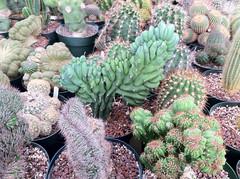image (That Cacti Guy) Tags: cactus crest mutant mutation cristata myrtillocactus