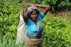 Knuckles Range - Teapicking Woman (Drriss & Marrionn) Tags: travel trees people nature landscape flora asia jungle srilanka ceylon cloudforest atwork tropics southasia teaplantations teapicking knucklesmountainrange