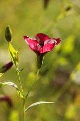 Weathered beauty (gripspix (OFF)) Tags: plant flower nature purple decay natur pflanze lila weathered blume violett malva verwittert zerfall malve 20131026