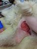 Tally kangaroo wounds (Rayya The Vet) Tags: dog vet canine anaesthetic maremma stitchup twitter kangarooattack vetsurgery