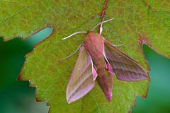 Deilephila elpenor (Elephant Hawk-moth, groot avondrood) (Rob Blanken) Tags: moth elephanthawkmoth deilephilaelpenor nikond800 grootavondrood sigma180mm128apomacrodghsm