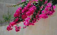 Bouganville. (girodiboa1) Tags: flowers italy muro wall italia fiori otranto salento lecce salentu bouganville girodiboa1