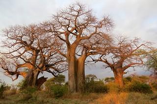 Three baobob trees