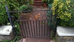 miniature cat sitting on a garden gate (dr_loplop) Tags: wall cat garden ginger miniature feline gate iron path hedge shrubs ittybitty notmycat teensyweensy