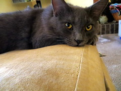 """We just couldn't say """"NO"""" to Stella (Gmare) Tags: stella rescue pet nose eyes watching resting greycat catseyes"""