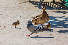 Embrace the difference (MauricioMoura.com) Tags: park paris france animal duck europe pigeon mother frança ducklings places pombo pato marching canard montsouris dumbfounded astonished caneton patinho