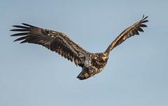 Eagle 5 (Jan Crites) Tags: winter bird river flying fishing nikon eagle zoom wildlife flight sigma iowa raptor mississippiriver soaring americanbaldeagle d600 leclaire lockanddam14 150500mm
