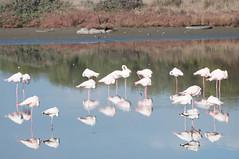 DSC_7584.jpg (Ferraris Clemente) Tags: sardegna wild birds sardinia uccelli pinkflamingo olbia stagno fenicotterirosa