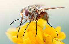 Prosena II (johnhallmen) Tags: macro insect naturallight diptera tachinidae canonmpe65 canon5dmkii zerenestacker
