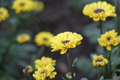 (ddsnet) Tags: plant flower sony taiwan cybershot resolution   taoyuan     rx10 mirrorless interchangeablelenscamera 851