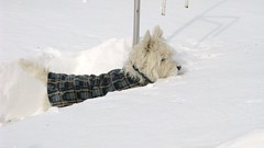 "1/12A ~ ""This snow is almost as tall as me!"" (ellenc995) Tags: winter white snow riley westie westhighlandwhiteterrier ruby3 coth supershot fantasticnature abigfave platinumheartaward rubyphotographer 100commentgroup alittlebeauty coth5 ruby10 ruby15 thesunshinegroup sunrays5 ruby20 challengeclubchampion 12monthsfordogs14"