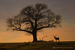 PICKET POST - NEW FOREST (mark_rutley) Tags: tree silhouette stag hampshire fallowdeer singletree thenewforest thelonetree fallowdeerstag