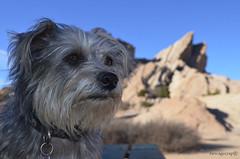 Brandi Dog Vasquez Rocks (newagecrap) Tags: california nikon terrier socal moviestar southerncalifornia santaclarita branmuffin vasquezrocks losangelescounty aquadulce famousdog terriermix brandidog aquadulcecalifornia aquadulceca nikond5100