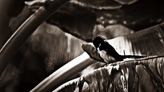 Ada indah dalam diam(decolor) (Mohd.Farid @ ahleng) Tags: light nature monochrome canon mono ada malaysia 7d kuala magpie indah tamron 18200 bnw selangor farid putih dalam hitam introspection diam murai photoscape ahleng ariken