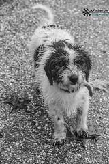 (Nafsika Chatzitheodorou) Tags: winter dog mountain feet rain fog day running run mascot athlete raining kavala vilage palaia cavalla καβαλα palia winterun παλια παλαια