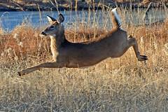 Levitation (NaturalLight) Tags: flying levitation deer kansas airborne wichita whitetail chisholmcreekpark