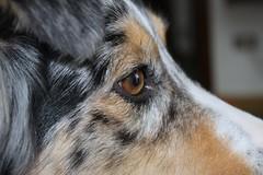Australian Shepherd (adzamba) Tags: italy dog cane geotagged australian ita aussie australianshepherd lombardia bluemerle soncino canepastore geo:lat=4539740281 geo:lon=986166716