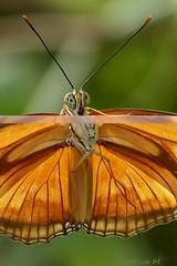 the other side (cre8ive-M) Tags: zoo ngc npc dryasjulia diergaardeblijdorp vlindertuin amazonica butterflygreenhouse