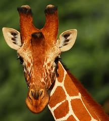 Friends in high places! (Rainbirder) Tags: kenya samburu reticulatedgiraffe giraffacamelopardalisreticulata somaligiraffe rainbirder