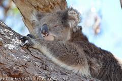 Sleepy head (Peter_Mackey) Tags: koala 70300 ooc raymondisland d5100