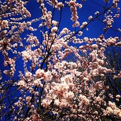 It's Spring! (jchants) Tags: flowers blue sky spring blossoms blooms myneighborhood ornamentalplumtree uploaded:by=flickrmobile flickriosapp:filter=nofilter