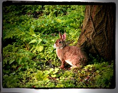 Lapin (rabbit). (Magic Fingaz) Tags: rabbit conejo coelho lapin