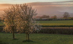 Time To Shine (Natasha Bridges) Tags: morning tree sunrise shropshire blossom plum wrekin