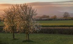 Time To Shine (Natasha Bridges) Tags: morning tree sunrise shropshire blossom plum wrekin