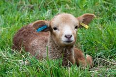 'Portland' Lamb (norman-bates) Tags: