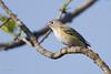 _53F2154 Blue-headed Vireo (~ Michaela Sagatova ~) Tags: dundas birdphotography blueheadedvireo vireosolitarius dvca michaelasagatova spring2014