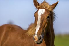 Amish Horse (mutrock) Tags: horse usa unitedstates farm indiana amish 2014 in