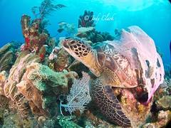 Turtle (jodylynn007) Tags: ocean coral underwater turtle honduras scuba scubadiving roatan reef sola underwaterphotography lightmotion roatanhonduras akr anthonyskeyresort inond2000 boatdiving nauticam canonpowershots95 jodylynn007hotmailcom jodylynnclark