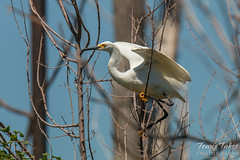 Snowy Egret launch sequence - 1 of 5
