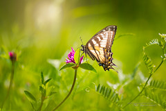All Things Bright and Beautiful (Thousand Word Images by Dustin Abbott) Tags: ca ontario canada green beautiful butterfly children outdoors pembroke spring woods bokeh naturallight event flare fullframe swallowtail petawawa 2015 eganville afservo canoneos6d canonef70300mmf456lis thousandwordimages dustinabbott dustinabbottnet adobephotoshopcc alienskinexposure7 adobelightroomcc