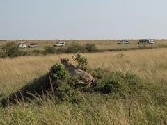 A Cheetah And Her Audience (Makgobokgobo) Tags: africa mammal kenya mara cheetah predator masaimara acinonyxjubatus acinonyx masaimaranationalreserve