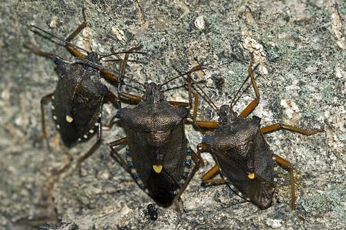 Pentatoma (P.) rufipes (Linnaeus 1758) - 004