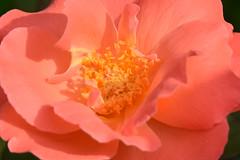 20150730_028_3 (まさちゃん) Tags: 薔薇 バラ 雄蕊 雄しべ 雌蕊 雌しべ