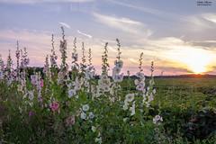 Flowers and a field (rishabharies) Tags: sunset wild sky ontario canada canon photography sandbanks provincialpark 60d subtleshades photoandmedia
