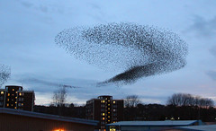 IMG_6398 (itchenbirds) Tags: starling winchester murmuration