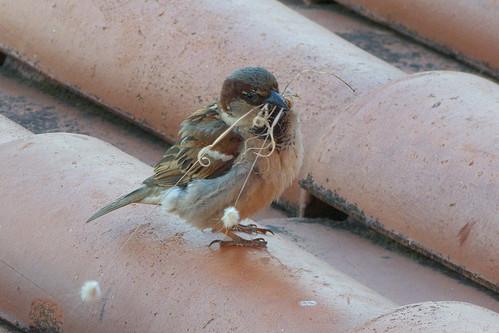 20160606 001 Hotel Zodiaco, Quarteira. House Sparrow, Passer domesticus