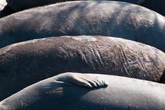 Rolling hills of elephant seal (_quintin_) Tags: elephantseal marine mammal anonuevo northern california pup